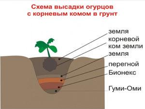 Схема высадки огурцов с удобрением Гуми