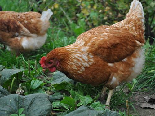Применение куриного помета как удобрения