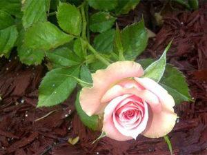 Сернокислый калий для роз
