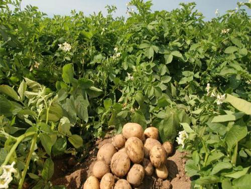 Калиевые удобрения очень эффективны для урожая картофеля