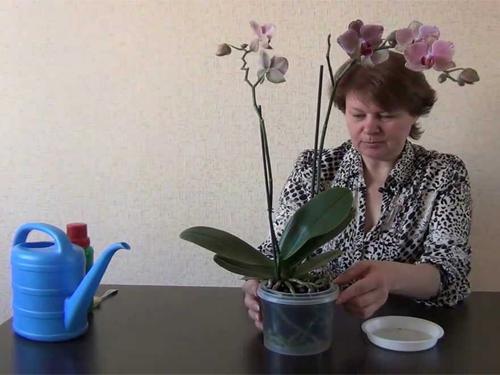 """Внесение удобрения """"Агрикола"""" в домашние орхидеи"""