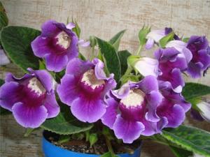 """Цветение комнатных цветов после внесения удобрения """"Агрикола"""""""