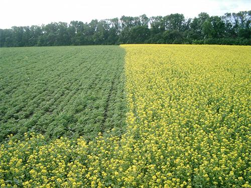 Разные виды сидератов для разных растений на одном поле