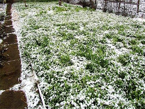 Сидераты под снегом