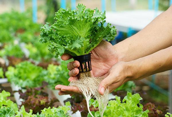 Салат на гидропонике