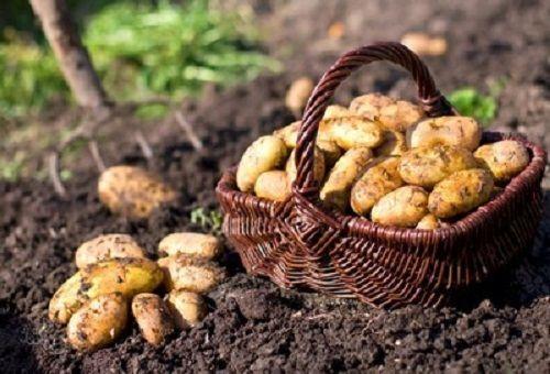 Сидераты для картофеля - весной и осенью