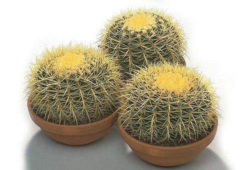 три кактуса