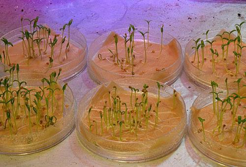 Проращивание семян в растворе биогумуса
