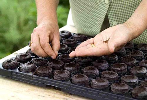 Посадка семян в торфяные таблетки