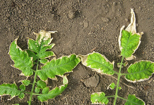 Белеют листья у рассады помидора: почему это происходит и что делать?