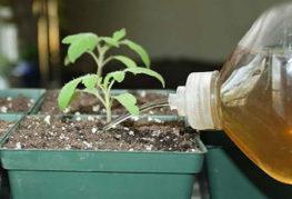 Подкормка молодой рассады томата