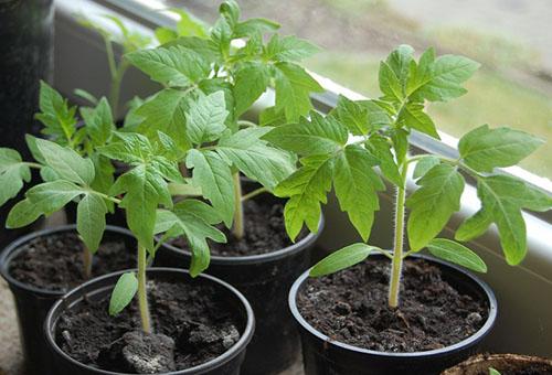 дрожжи для полива рассады томатов