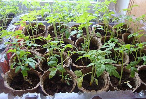 Начали желтеть листья у рассады помидора