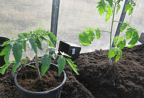 Высадка рассады томата в теплицу