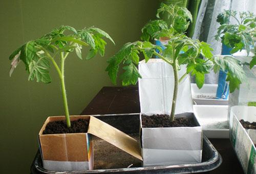 Рассада томатов в коробочках