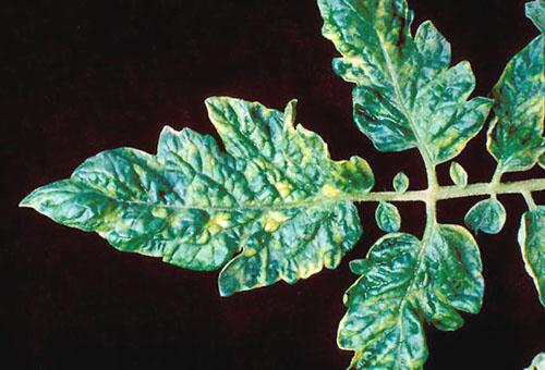 Мозаика - болезнь помидора