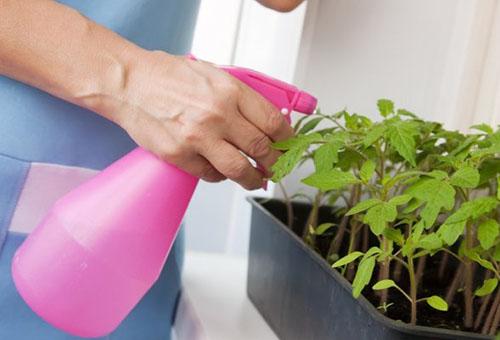 Опрыскивание рассады помидоров