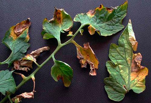 Пораженные болезнью листья томатов