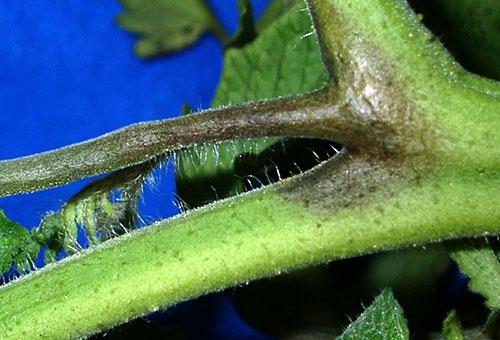 Фитофтороз на стебле томата