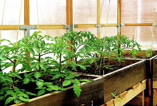 Рассада томатов в теплице