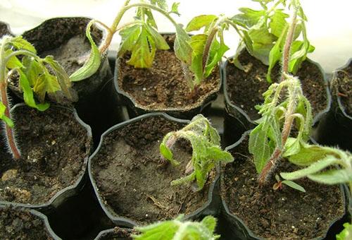 Подмерзла рассада помидор – что делать, чтобы спасти томаты?