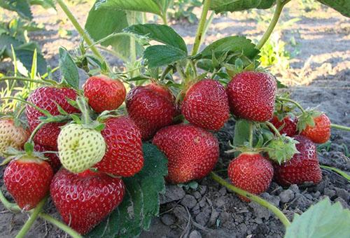 Куст клубники с ягодами