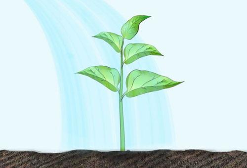 Посадка перца в грунт рассадой и последующий уход