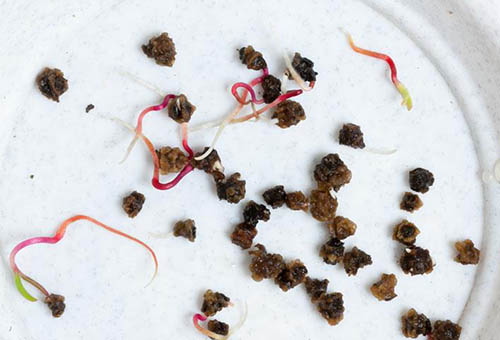 Посадка свеклы рассадой в открытый грунт: сроки, способы, последующий уход