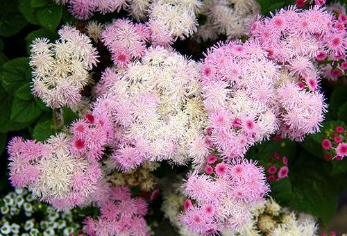Белый и розовый агератум