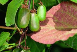 Плоды актинидии