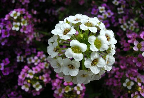 Соцветие алиссума
