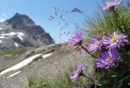 Дикорастущая альпийская астра