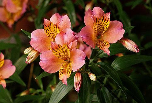 Цветки альстромерии