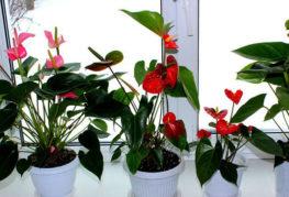 Цветущие антуриумы на подоконнике