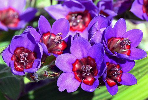 Цветки бабианы