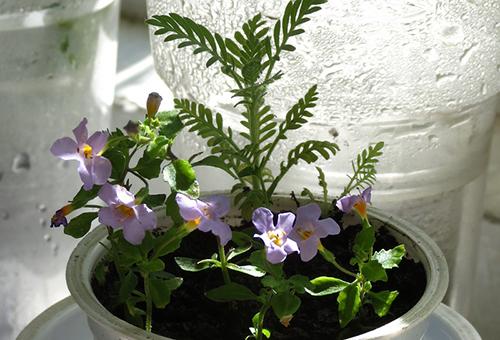 Бакопа: уход и выращивание, применение в декоре