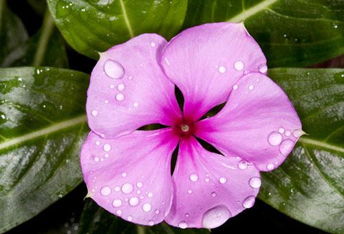 Розовый цветок барвинка