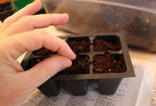 Посев семян базилика