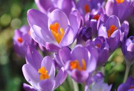 Цветки безвременников
