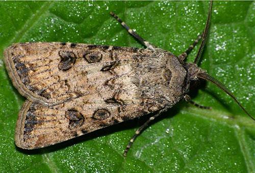Бабочка озимая совка