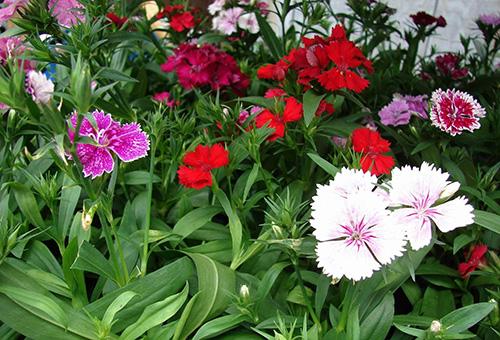 Разноцветные садовые гвоздики