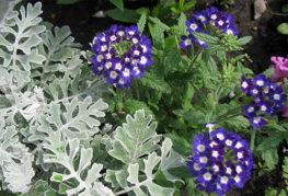 Вербена с бело-синими цветами
