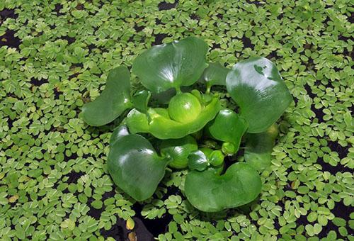 Водный гиацинт – посадка и уход в любое время года