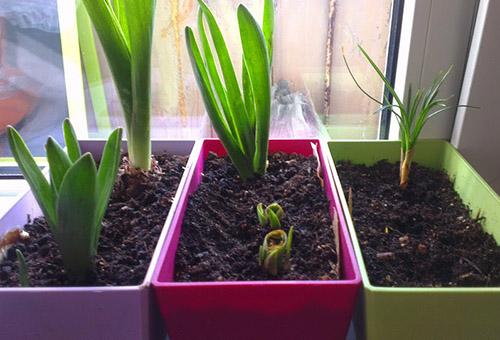 Ростки тюльпанов на подоконнике