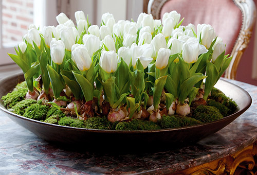 Низкорослые тюльпаны дома