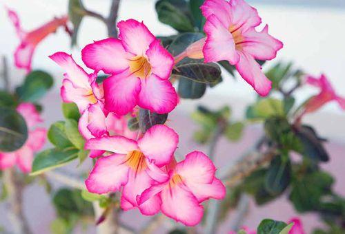 цветок шпажник Мюриэл