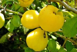 Плоды Хеномелеса