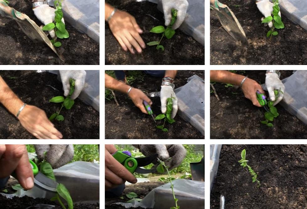 Японская айва выращивание и уход
