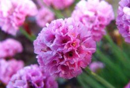 Цветок армерии