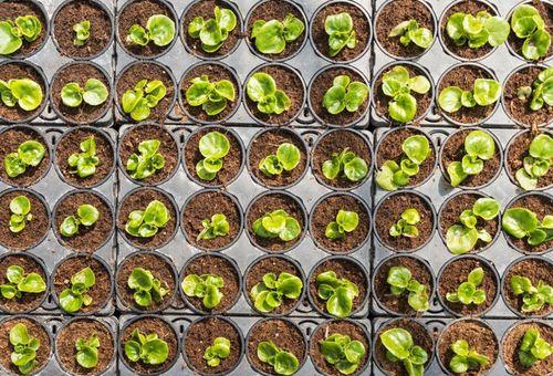 молодые ростки растения